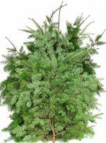 DOUGLAS_FIR_crop_8053.jpg