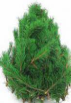 MOUNTAIN_PINE_crop_1463.jpg